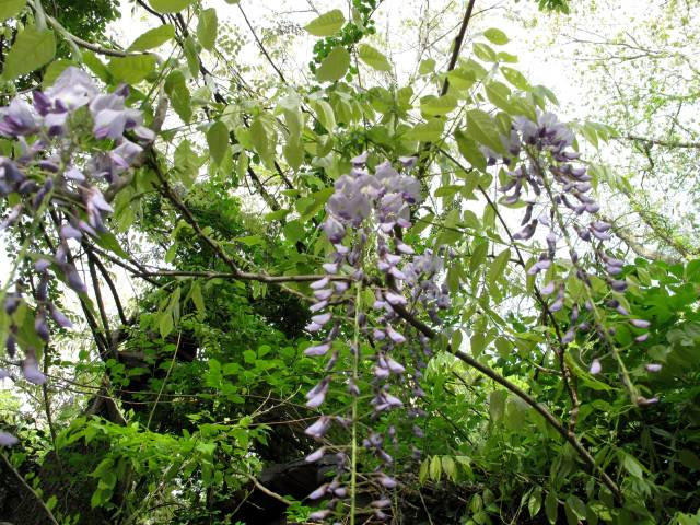Pretty but evil wisteria