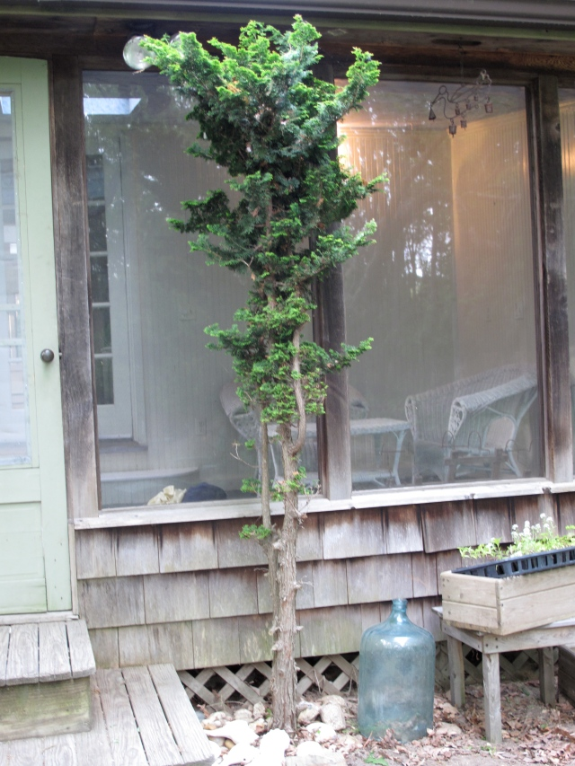 Sad hinoki cypress - bottom half gobbled up by deer - and right outside the back door. What to do?