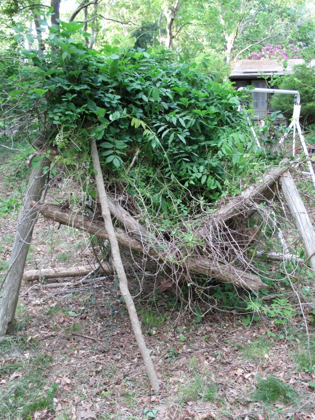 A rustic arbor on its way down, with a vine I cannot ID - no sign of flowers