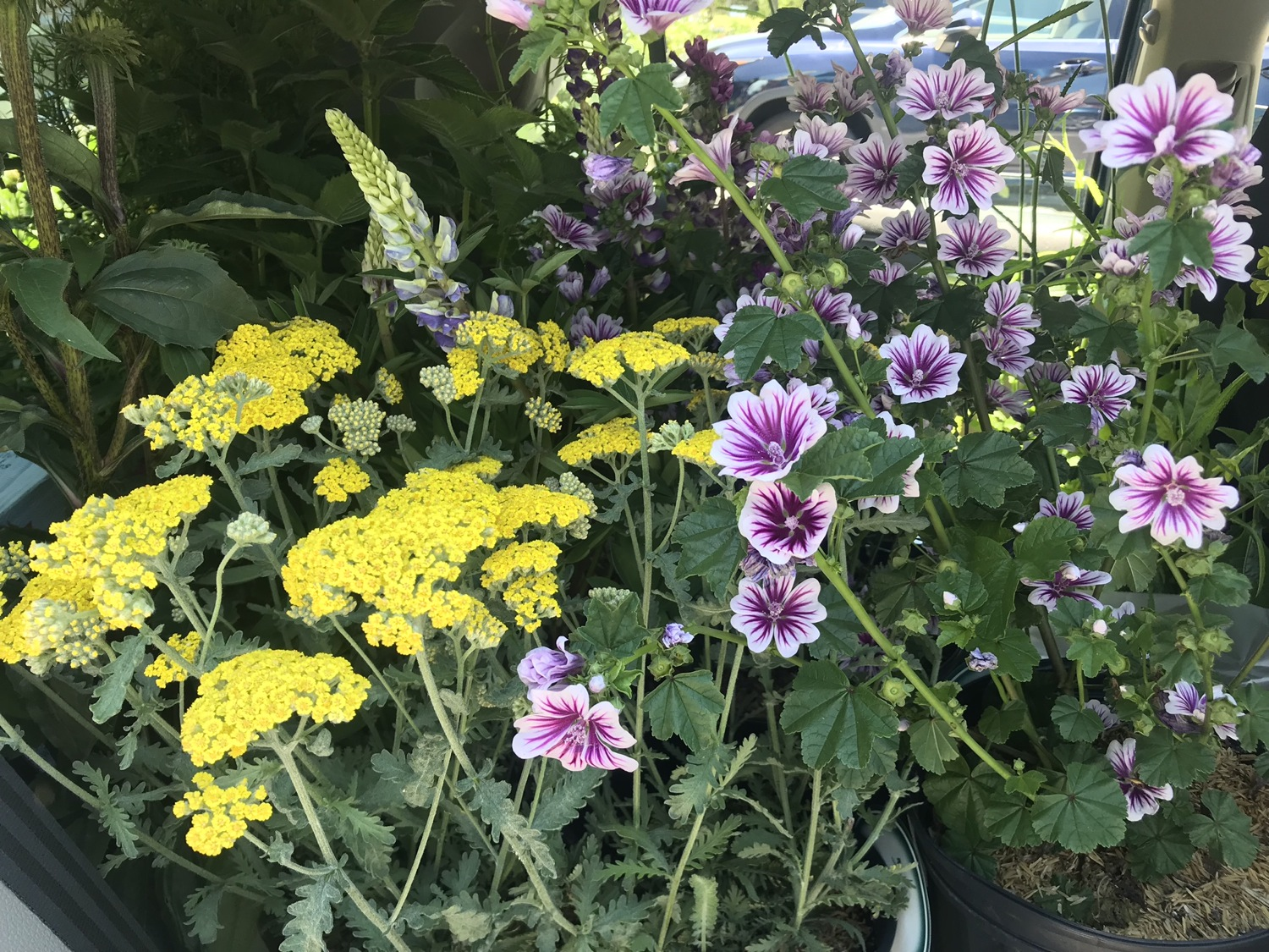 Perennials on Parade + Shopping for an Instant Cottage Garden